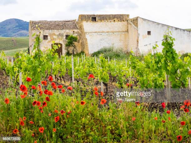 countryside scene with vine groves near Alcamo in the province of Trapani