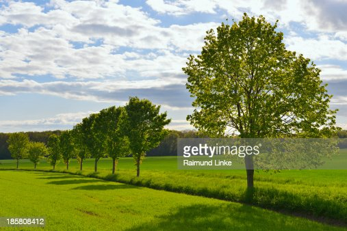 Countryside with Lime Tree Row
