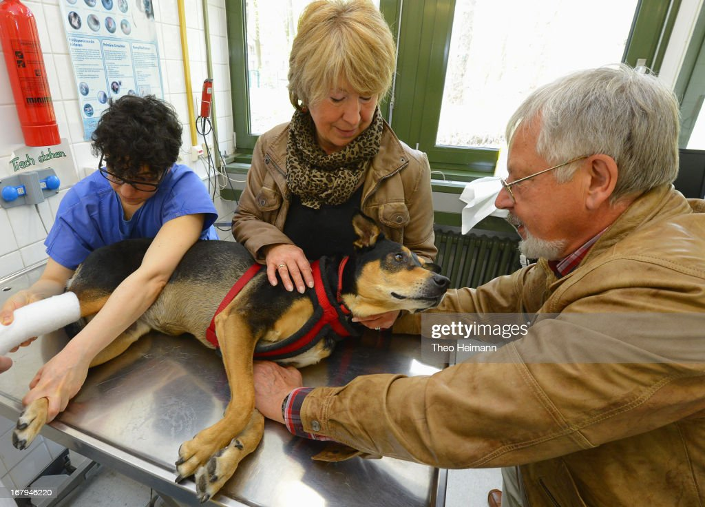 A couple comfort their mixed sheperd terrier after it had received a new bandage on its leg at the Dueppel animal clinic on April 29, 2013 in Berlin, Germany. The Dueppel clinic consists of two separate facilities, one for horses and other large animals, the second for small animals. The Dueppel clinic belongs to the Freie Universitaet Berlin university and is one of five university veterinary clinics in Germany. The clinic for small animals is now the most modern in Germany.
