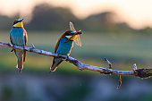 Couple dines colored birds at sunset,Silhouette couple of birds at sunset,bee eaters, european bee eaters, bird on branch,