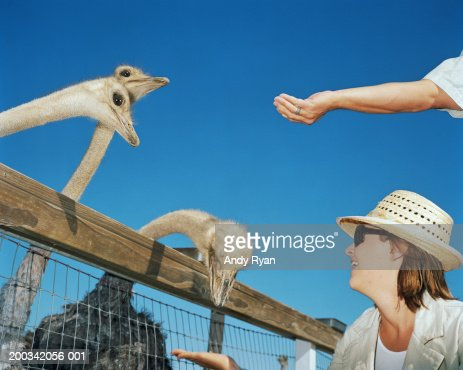 Couple feeding flock of ostriches, side view : Stock Photo