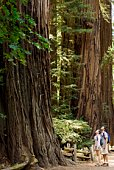 Couple looking up at redwood tree, Felton, California