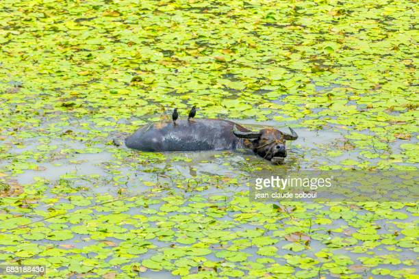 Couple of bird on a water buffalo, in ninh binh province (vietnam)