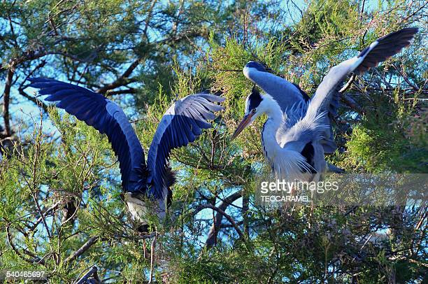 Couple of blue heron in a tree.
