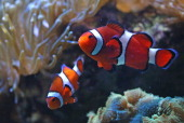 A couple of Clownfish chase each other Love is in the air at the New England Aquarium thanks to its newly renovated Giant Ocean Tank In the months...