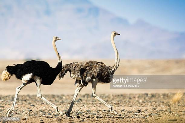 Couple of Common Ostriches