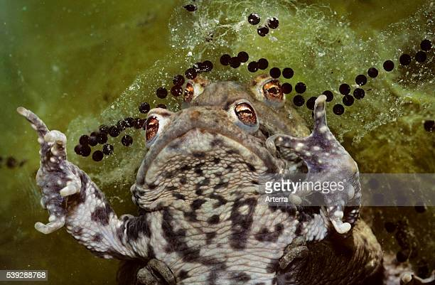 Couple of Common toads / European toads mating and string of toadspawn