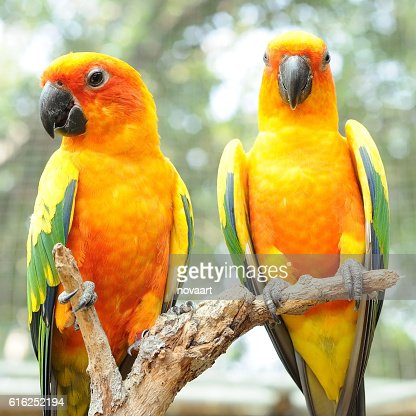 Couple of conure birds parrot hanging on dry branch : Stock Photo