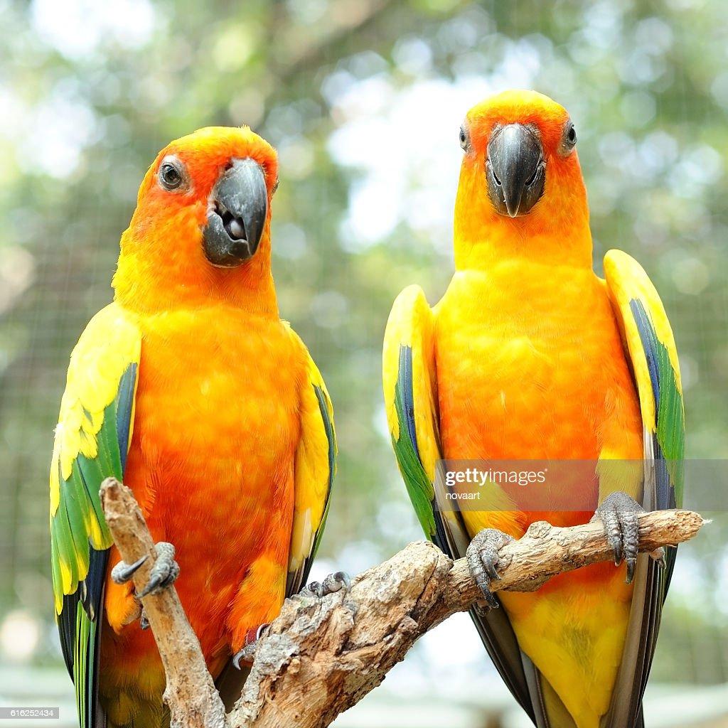 Couple of conure birds parrot hanging on dry branch : Foto de stock
