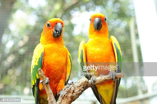 Couple of conure birds parrot hanging on dry branch : Foto de stock