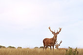 couple of deers in the field at sunset