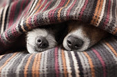 couple of dogs in love sleeping together under the blanket in bed
