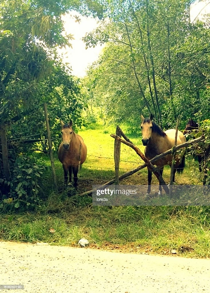 Couple of horses : Stock Photo