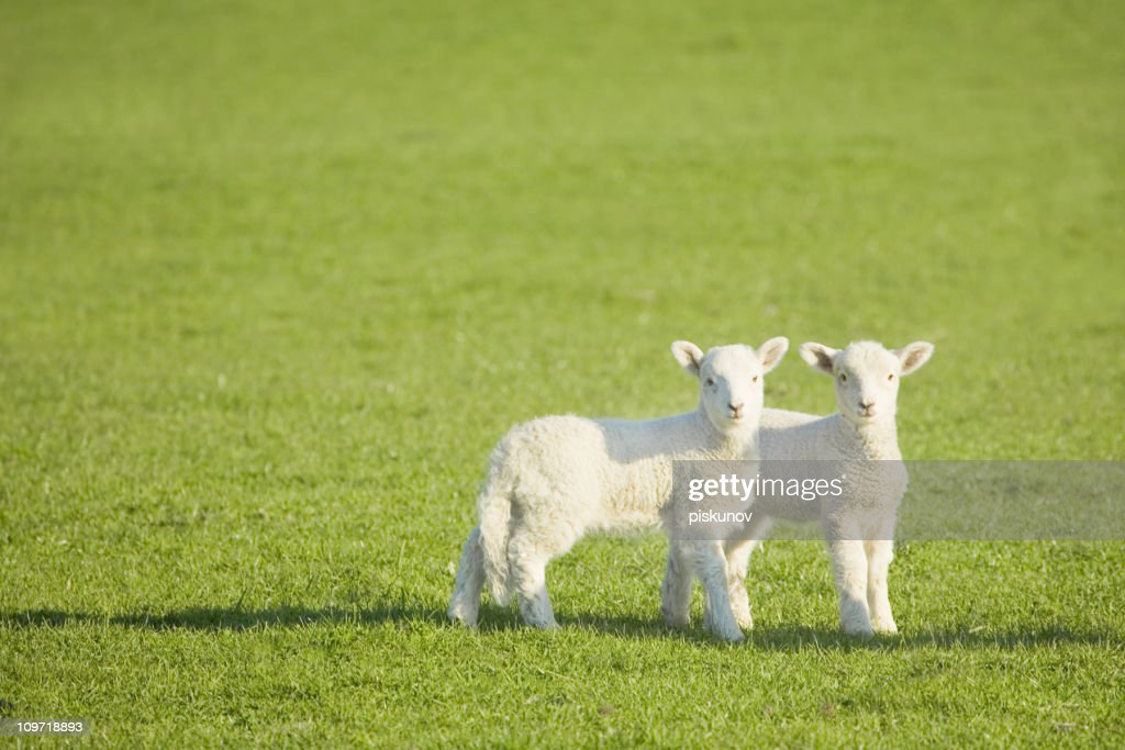 Couple of lambs on New Zealand meadow : Stock Photo