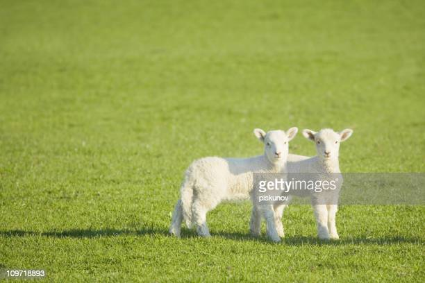 Couple of lambs on New Zealand meadow