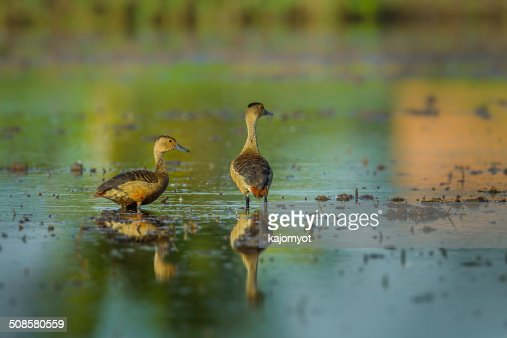 Couple of Lesser whistling duck : Stock Photo