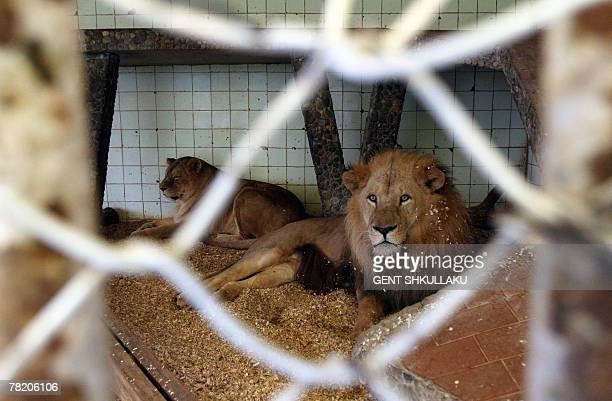 A couple of lions lie on the tile floor of their confined cage in Tirana's only zoo 02 December 2007 The jungle king has a tough life in the zoo of...