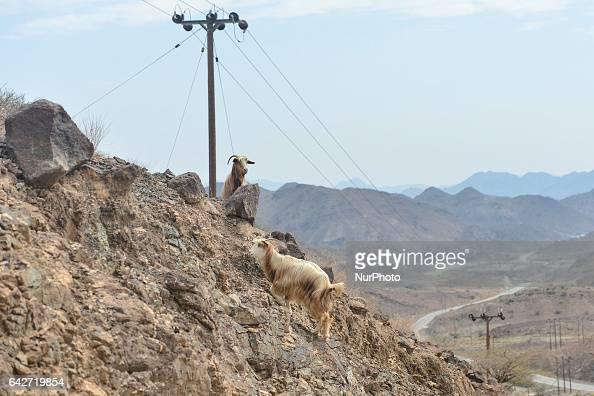 A couple of mountain goat near the road Samail to Izki On Saturday February 18 in Samail Ad Dakhiliyah Region Oman