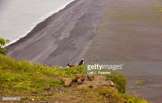 A couple of puffins birds looking at the beach in Dyrhólaey : Foto de stock