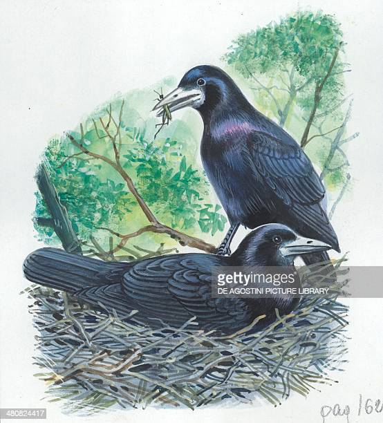 Couple of Rooks male brings food to the female while she is incubating the eggs illustration