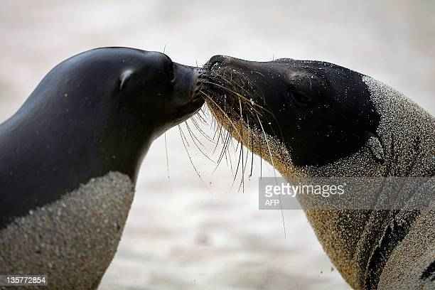 A couple of sea lions 'kiss' each other at the Man Beach at Puerto Baquerizo Moreno in San Cristobal island Galapagos Archipelago on August 31 2009...