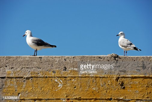 Couple of Seagulls on a wall : ストックフォト