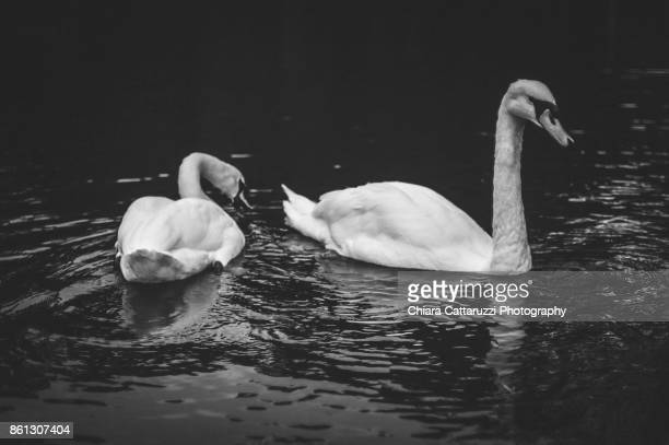 A couple of swans in a lake