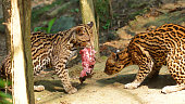 Couple of tigrillos playing with a piece of raw meat in Ecuadorian amazon. Common names: Ocelote, Tigrillo. Scientific name: Leopardus pardalis