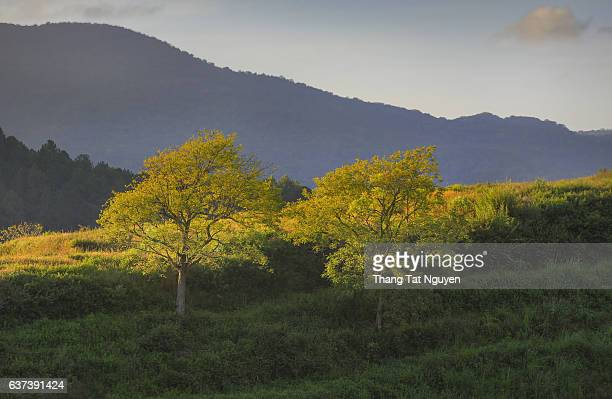 Couple of Yellow tree on the mountain