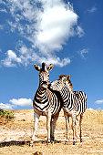 Couple of zebra