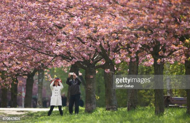 A couple photograph blossoming cherry trees on April 20 2017 in Berlin Germany Farmers are concerned that a recent cold snap that brought snow...