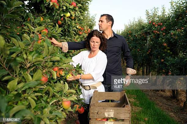 Coppia prelievo mele in un frutteto