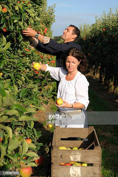 Couple picking apples in an orchard