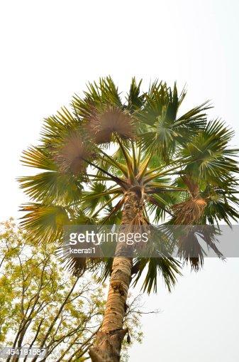 Plam albero coppia di mattina presto sfondo cielo al tramonto : Foto stock