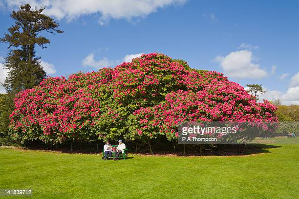 Couple sitting in front of large Rhododendron shrub, Lost Gardens of Heligan, Cornwall, England