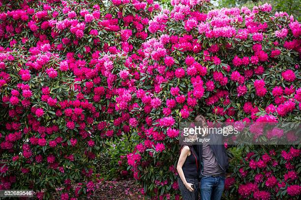 A couple take a photo in front of pink Azalea flowers at Kew Gardens on May 19 2016 in London England Kew Gardens which is home to the largest...