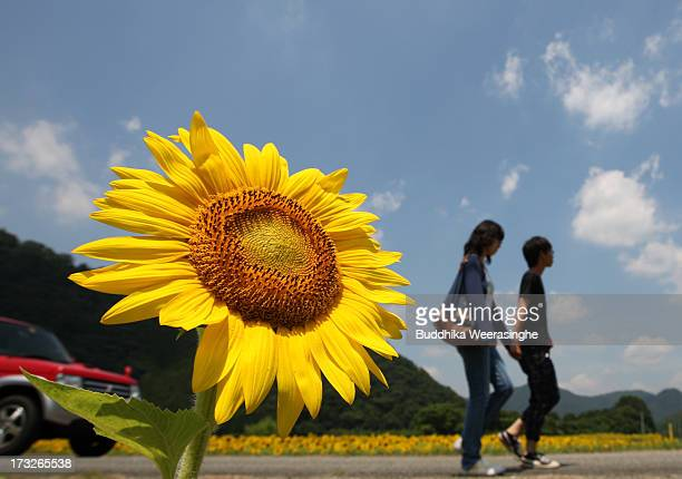 A couple walks beside of a sunflower planted on July 11 2013 in Sayo Japan Approximately 12 million sunflowers are planted in 241 hectares over six...
