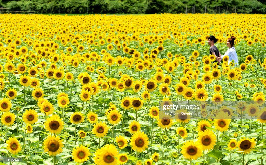 A couple walks in the fully blossomed sunflower field on July 10, 2012 in Sayo, Hyogo, Japan. 1.2 million sunflowers are planted in 24.1 hectare field.