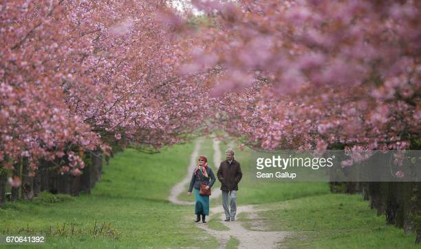 A couple who said they did not mind being photographed walk among blossoming cherry trees on April 20 2017 in Berlin Germany Farmers are concerned...
