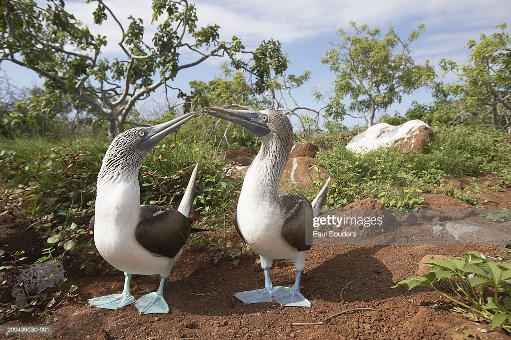 Courting Blue Footed Boobies (Sula nebouxii) near nest