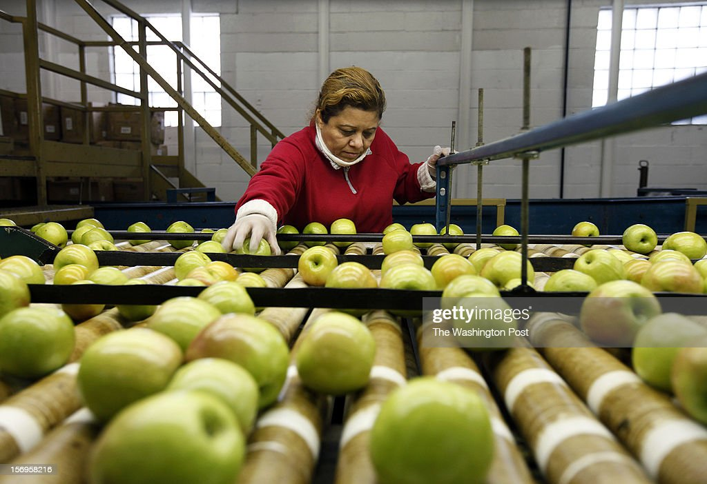 Covesville, VA -Eugenia Mena sorts granny smith apples at the Crown Orchard Co. Friday, November 23, 2012. The apples are being packed for export to Cuba.