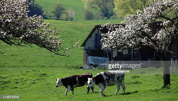 Cow among blooming apple trees in Normandy