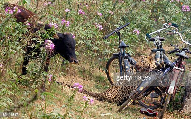 A cow and a leopard come face to face in the residential area of Jyotikuchi in Guwahati the capital city of the northeastern state of Assam on March...