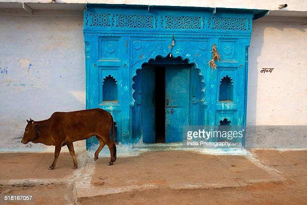 A Cow and Blue House