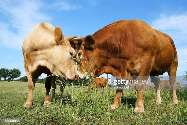 Vaca e bull