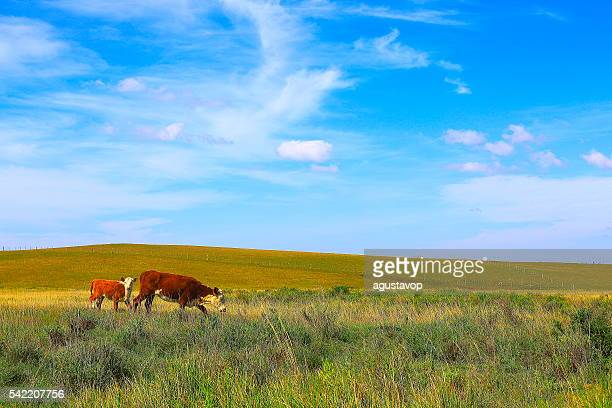 Cow and calf at sunrise, pampa countryside landscape, southern Brazil
