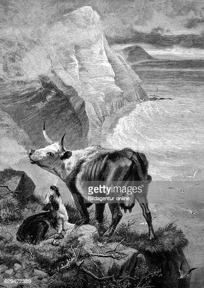 Cow and calf in the mountains historical illustration 1884