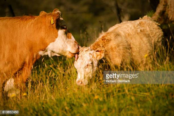 Cow and Calf lit by Autumnal Setting Sun