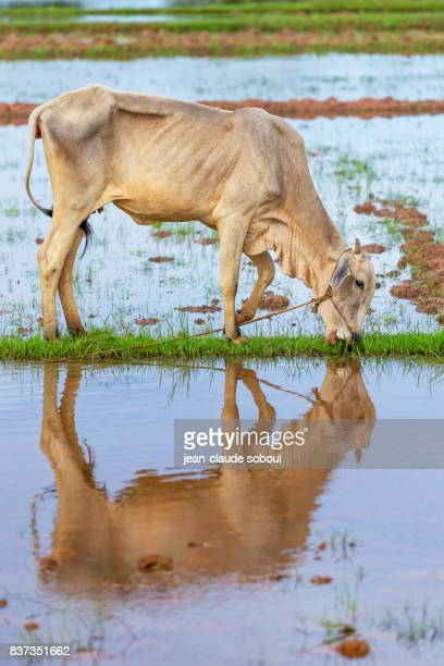 A cow and its reflection in a rice field, in kampot province (Cambodia)