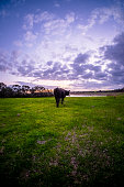 Cow in paddock with dam and dynamic sunset
